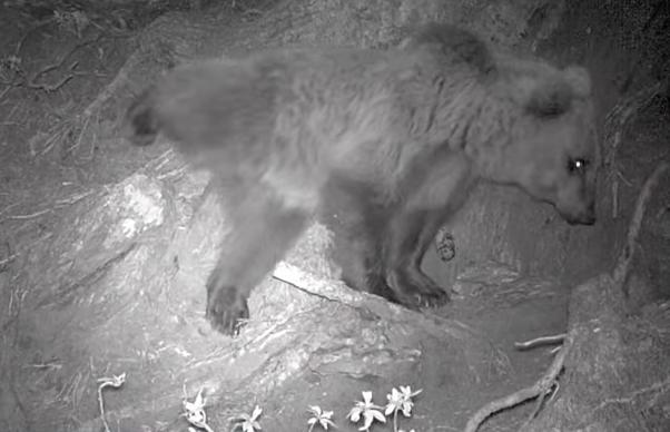 Медведь-«блондин» получил интернет известность в Италии