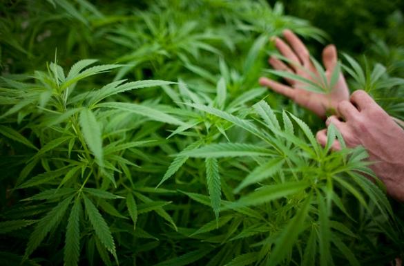 В соответствии с новыми предложениями, люди в возрасте старше 18 лет, смогут позволить себе выращивать до пяти растений дома