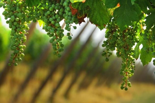 в Италии соберут в этом году невероятный урожай винограда – 7 млн тонн винограда