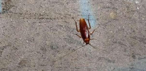 Дискомфорт жителям районов Chiaia, Ponticelli, Arenella и Secondigliano доставляют обычные домашние тараканы