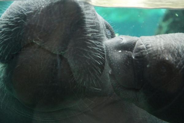 Это первый щенок травоядного животного ламантин рождённый в итальянском аквариуме