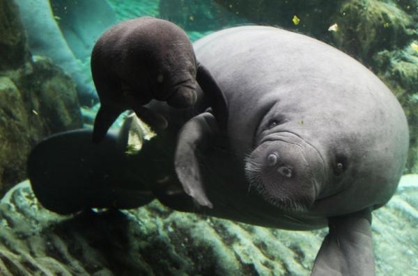 В аквариуме Генуи у самки ламантина родился малыш — впервые в Италии