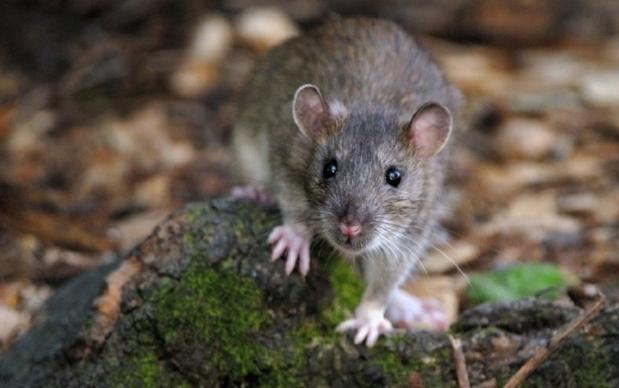 Итальянцы заразились от крыс во время сбора грибов