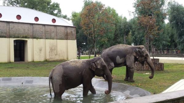 В неаполитанский зоопарк из Копенгагена прибыли две симпатичные слонихи