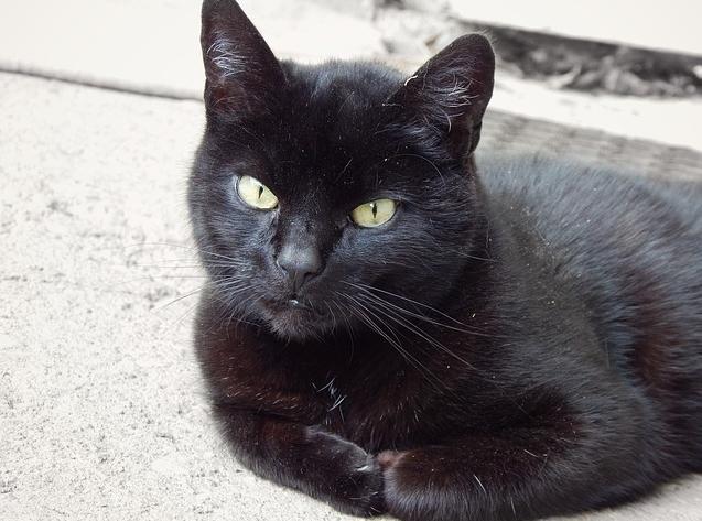 Национальный День Чёрного Кота отмечается 17 ноября
