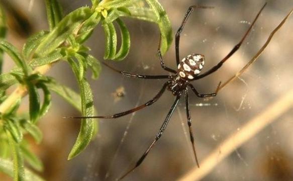 Черные пауки – вдовы вернулись на Сардинию