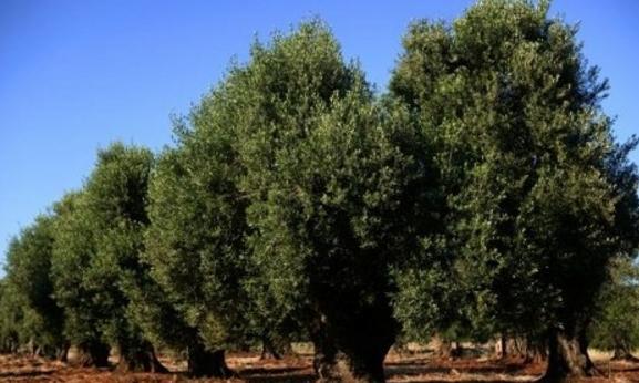 Италия не исполнит приказ ЕС о вырубке больных оливковых деревьев