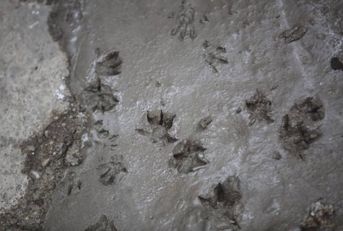 Рим: опасность нашествия крыс возрастает