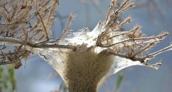 Деревья в Северной Италии окутаны гусеничной паутиной