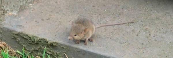 Крысы и тараканы захватили итальянские столичные больницы