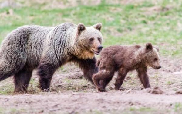 В Италии снова отравлен бурый медведь