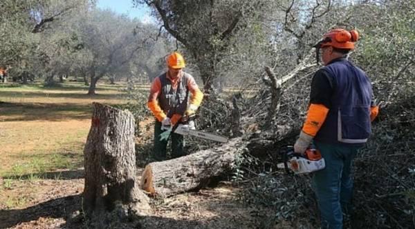 Евросоюз может заставить Италию вырубить оливковые деревья