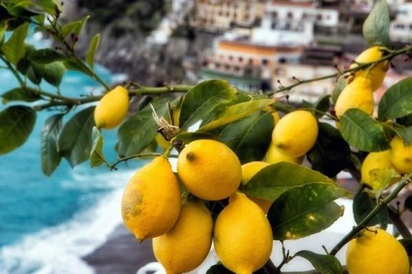 Амальфи множество лимонных и апельсиновых садов