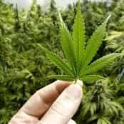 Министр здравоохранения Италии возвращает продажу марихуаны в аптеках страны