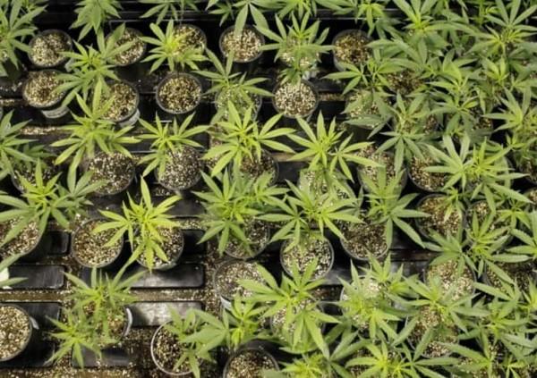 Министр здравоохранения �талии возвращает продажу марихуаны