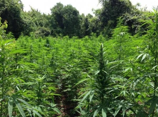 Полиция в Калабрии изъяла марихуаны на 20 млн евро