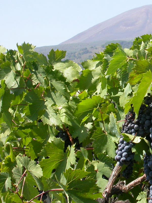 Вино Lacryma Кристи rosato из красных сортов винограда на склонах Везувия