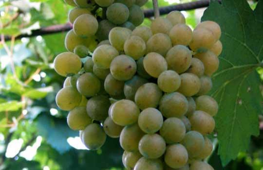 Сухое и очень ароматное вино