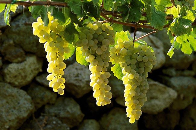 Вино Forastera Ischia - на холмах острова Искья