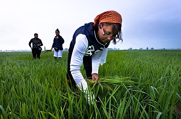 Что примечательно, Италия лидирующая страна Европы по объему выращиваемого риса