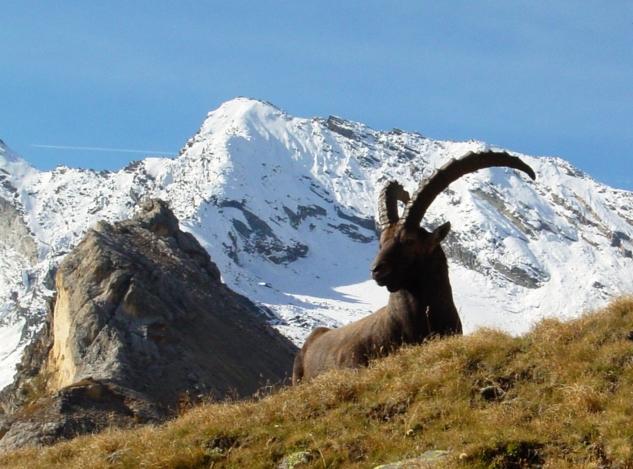 ациональный Парк Гран-Парадизо, на территории которого живет, охватываемых общей защитой альпийский козерог