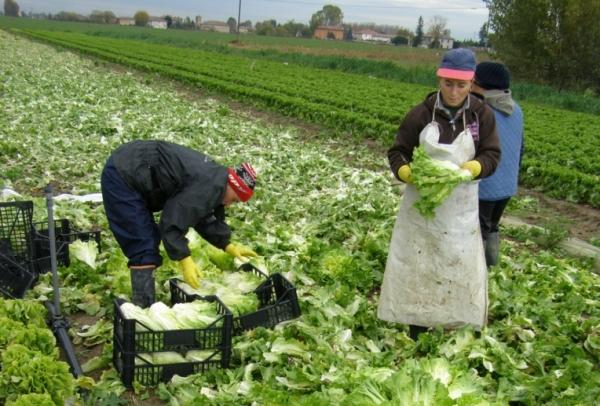 Его выращиваю во множестве регионов Италии. Землевладельцы высаживают и выращивают множество овощных культур