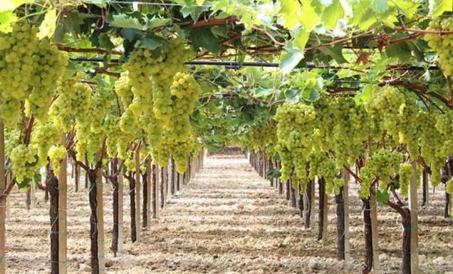 Конечно же, одну из главных ролей в этой отрасли занимает выращивание винограда
