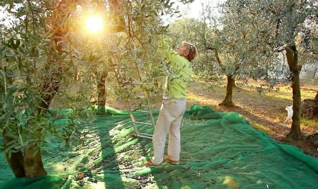 Оливки еще одна важная культура для итальянских земледельцев